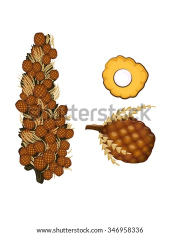 Oil palm fruit vector illustration isolated on white - stock vector