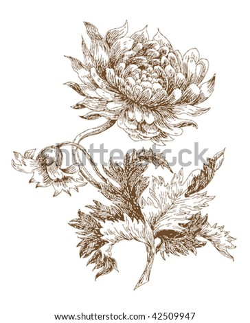 old-styled vector chrysanthemum . Freehand drawing - stock vector