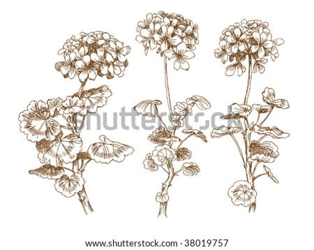 old-styled vector geranium. Freehand drawing - stock vector