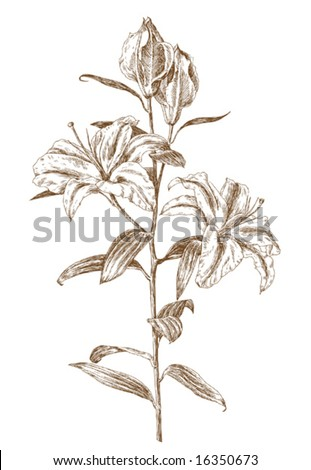 old-styled vector lily. Trace of freehand drawing - stock vector