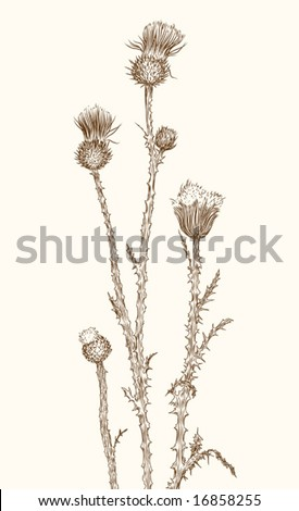 old-styled vector thistle. Freehand drawing - stock vector