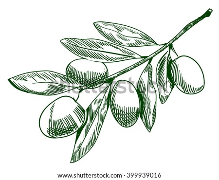 Olive branch sketch. Hand drawn olive branch. contour line drawing. VECTOR illustration, line work. Green contour lines.  - stock vector