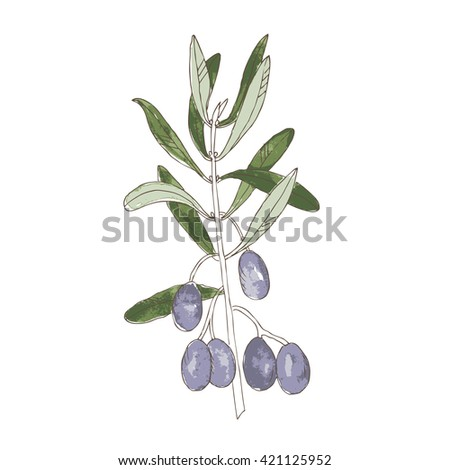 Olive branch with dark fruits, hand drawing vector illustration. Watercolor background.