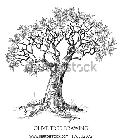 Olive tree isolated hand drawn vector - stock vector