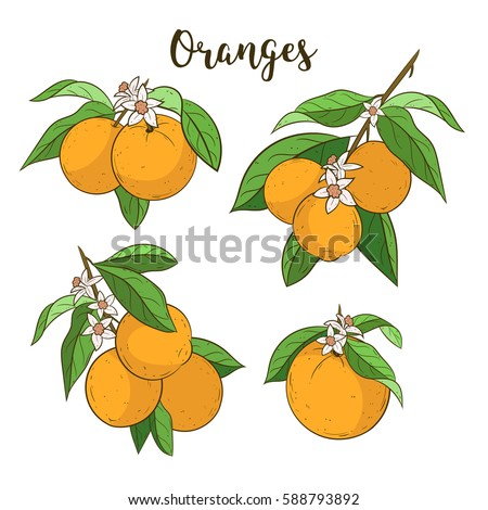 Citrus Branch Stock Images, Royalty-Free Images & Vectors ...