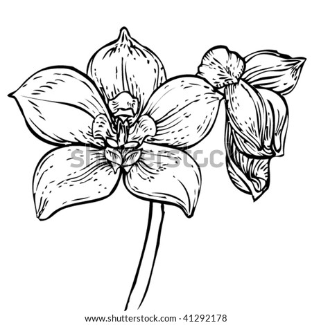 Orchid Line Drawings Orchid Drawing