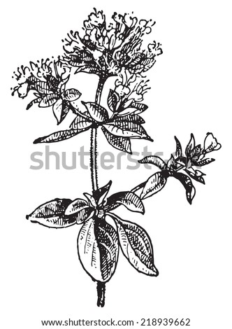 Oregano, vintage engraved illustration. Dictionary of words and things - Larive and Fleury - 1895. - stock vector
