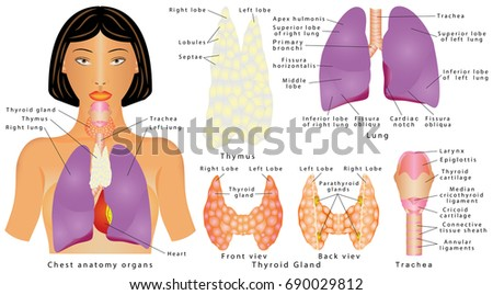 Organs chest female human internal organs stock vector royalty free organs of chest female human internal organs chest organs thymus lung ccuart Image collections