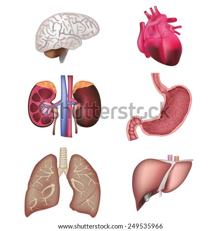 Organs vector illustration - stock vector