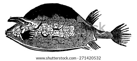 Ostracion quadricirnis, the fish of the Eocene period, vintage engraved illustration. Earth before man 1886. - stock vector