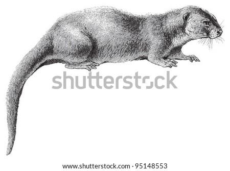 Otter (Lutra vulgaris) / vintage illustration from Meyers Konversations-Lexikon 1897 - stock vector