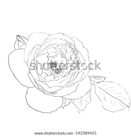 Outline drawing of a rose flower on a white background vector illustration
