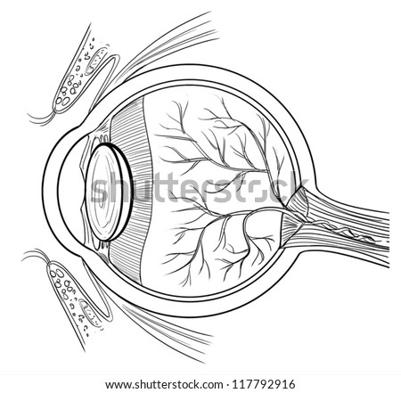 Outline illustration of the human eye anatomy - stock vector