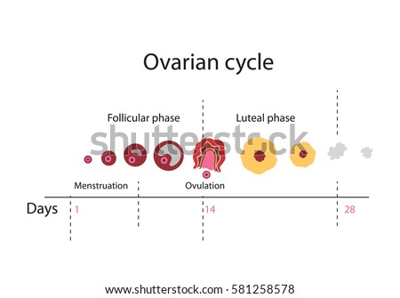 oogenesis and ovarian cycle The ovarian cycle the hormonal cycle remark: the most interesting in connection with oogenesis is the development of the different follicle stages the complex .