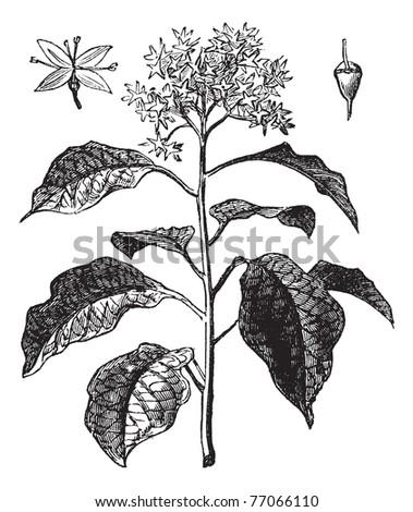 Pagoda Dogwood or Alternate-leaved Dogwood or Cornus alternifolia, vintage engraving. Old engraved illustration of Pagoda Dogwood showing flower (upper left) and fruit (upper right). Trousset - stock vector