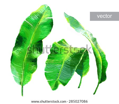 Palm banana leaves isolated on white. Set of tropical leaves. Vector illustration. - stock vector