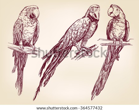 Parrot set isolated hand drawn vector llustration  realistic  sketch - stock vector