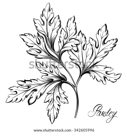 Parsley branch with leaves isolated on white background. Kitchen herbs and spices. Hand drawn vector illustration - stock vector