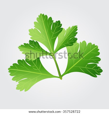 Parsley herb isolated on white background. Vector illustration. - stock vector