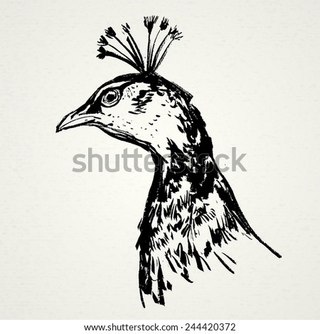 Peacock hand drawn. Vector illustration. Realistic sketch. Zoo. - stock vector