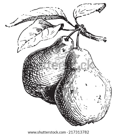 Pear, vintage engraved illustration. Dictionary of words and things - Larive and Fleury - 1895. - stock vector