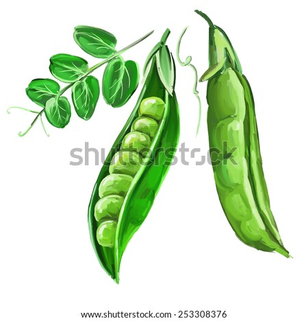 peas vector illustration  hand drawn  painted watercolor - stock vector