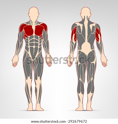 Pectoralis, deltoid, and triceps muscles. Fitness training, man muscles workout.