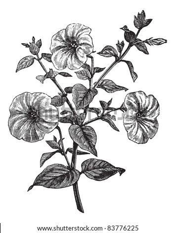 Petunia or Petunia sp., vintage engraved illustration. Trousset encyclopedia (1886 - 1891). - stock vector