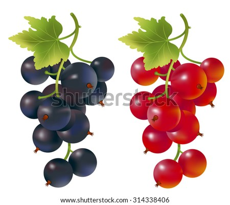 Photo realistic illustration of Redcurrant and blackcurrant  on white background. - stock vector