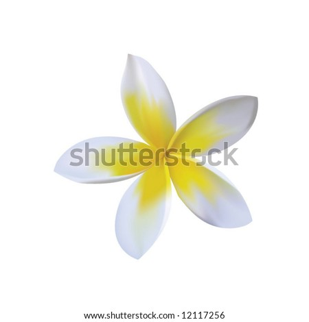photorealistic vector of plumeria - stock vector