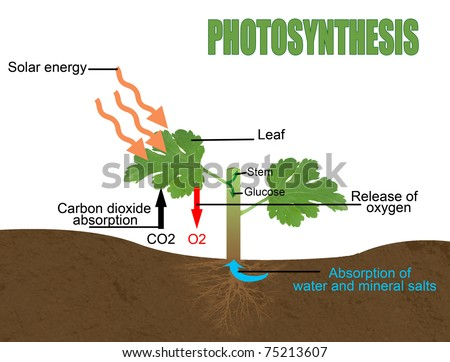 Photosynthesis, vector illustration (Helpful for Education & Schools) - stock vector
