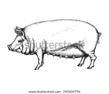 Pig in hand drawn style. Vector illustration isolated on white background. - stock vector