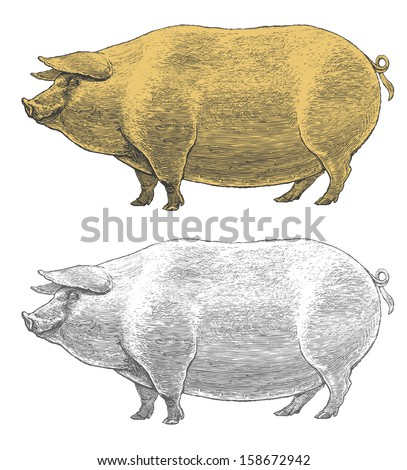 Pig or swine in vintage engraved style   Vector illustration, isolated, grouped, transparent background.  - stock vector