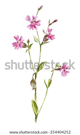 Pink flower isolated on white. Watercolor hand-drawn illustration. Vector. - stock vector