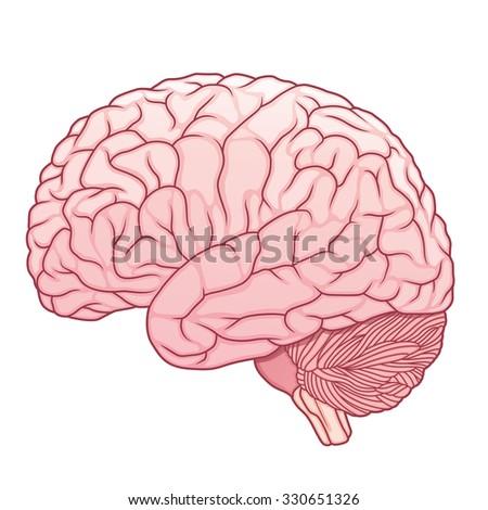 pink human brain - stock vector