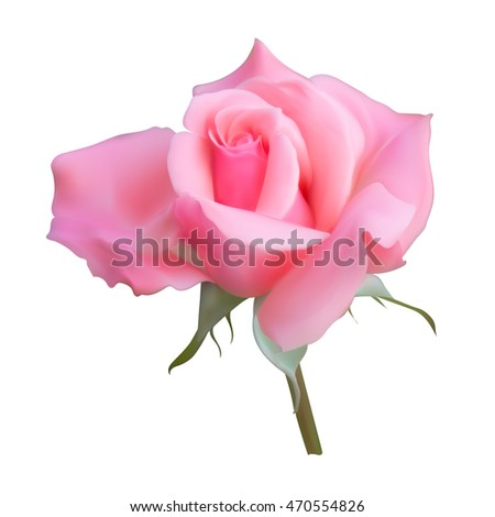 pink rose bud blossoms vector