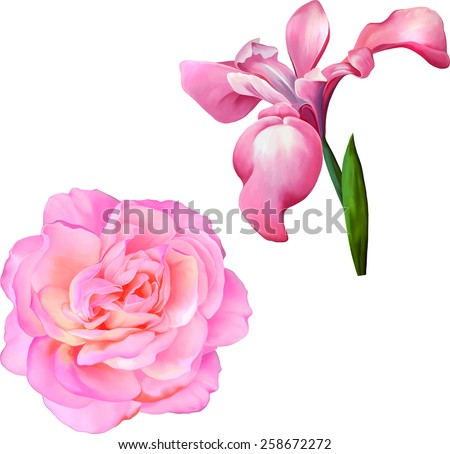 Pink Rose Flower, Pink iris flower, blossom with bud on a white background. - stock vector