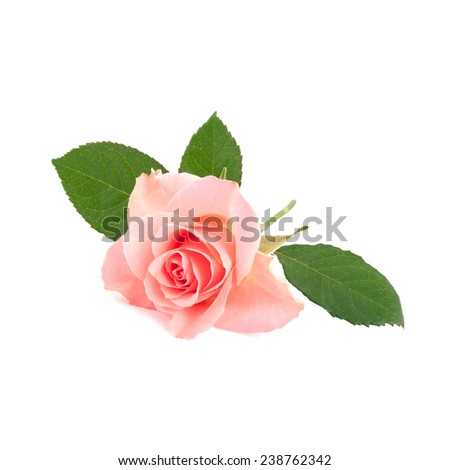 Pink rose isolated on white background - stock vector