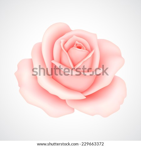 Pink rose. Vector illustration - stock vector