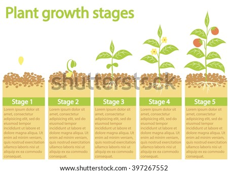 Plants growing infographic. Plants growing process. Plants growth stages. Plants growing from seed to fruits.  - stock vector