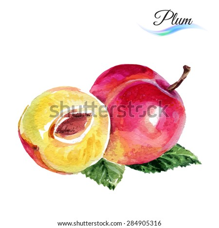 Plum drawing watercolor isolated on white background - stock vector