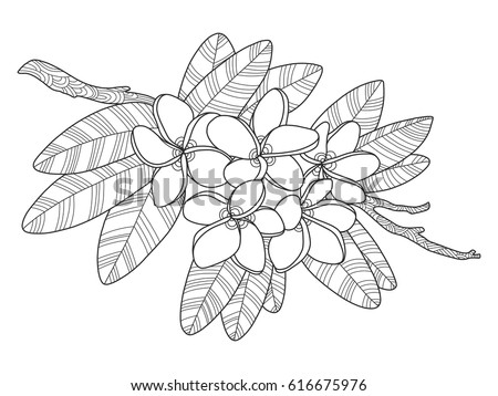 Hand Drawing Sketch Jasmine Flower Black Stock Vector 730693087 Rh Shutterstock Com Hawaiian Coloring Pages