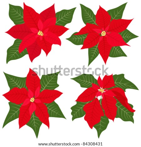 Poinsettia flowers for christmas decorations - stock vector