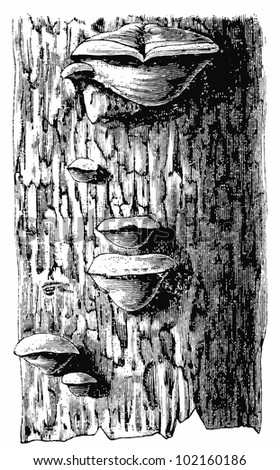 "Polyporus ignarius on the bark of an oak. Publication of the book ""Meyers Konversations-Lexikon"", Volume 7, Leipzig, Germany, 1910 - stock vector"