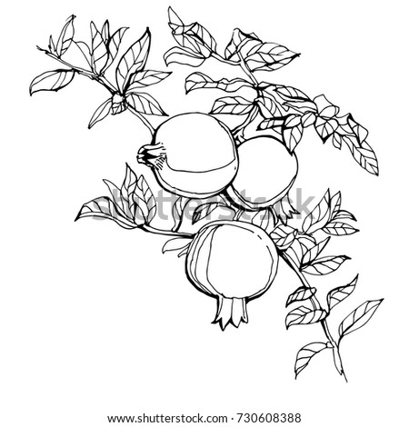 Pomegranate Branch With Fruit And Leaves Outline Coloring Book Page Stock Vector Illustration On White Background