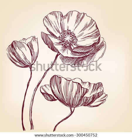 poppies hand drawn vector llustration realistic sketch - stock vector