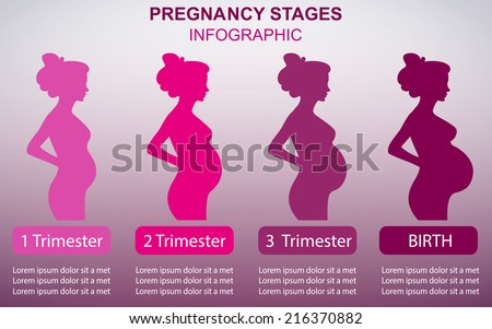 pregnancy stages chart images: Pregnancy stages stock images royalty free images vectors