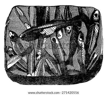 Preserved fossil fish on a plate shale, vintage engraved illustration. Earth before man 1886. - stock vector
