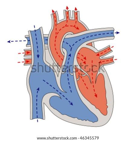 Progress of blood through the heart - stock vector