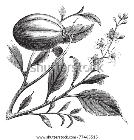 Purging Croton or Croton tiglium, vintage engraving. Old engraved illustration of a Purging Croton plant showing flowers. Trousset Encyclopedia.